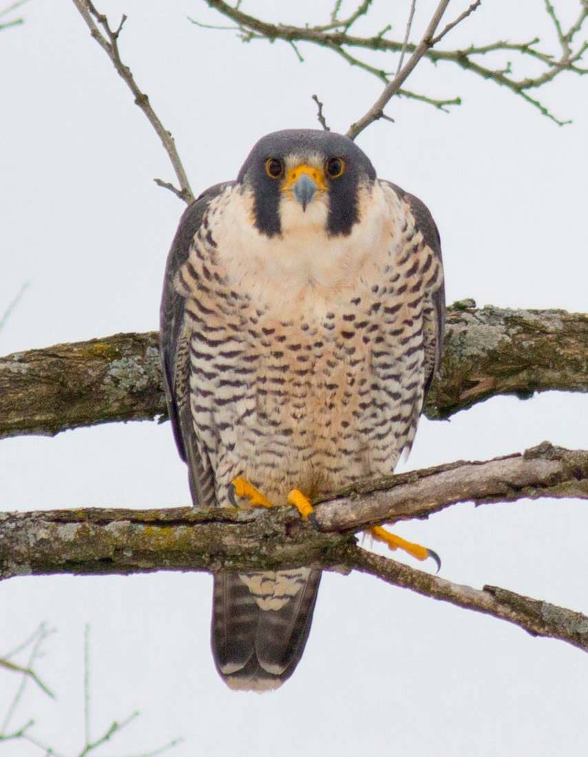 A Peregrine Falcon looking directly at the camera