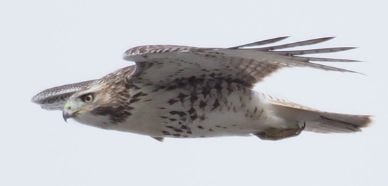 A juvenile Red-tailed Hawk flying